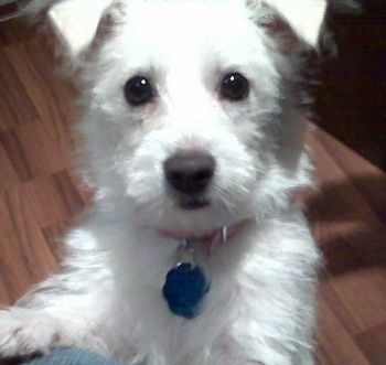 Weston West Highland White Terrier Coton De Tulear Hybrid Dogs Westons Terrier Mix Breeds Terrier Mix Terrier Mix Dogs