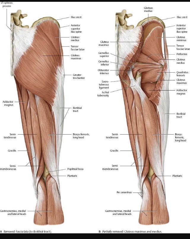 Diagram For Posterior Of Quadriceps Human Body Anatomy Muscle Anatomy Anatomy