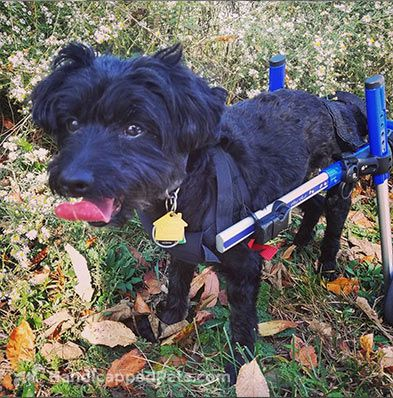Pin By Walkin Pets By Handicappedpets Com On Walkin Wheels Wheelchair Dog Wheelchair Dogs Disabled Dog