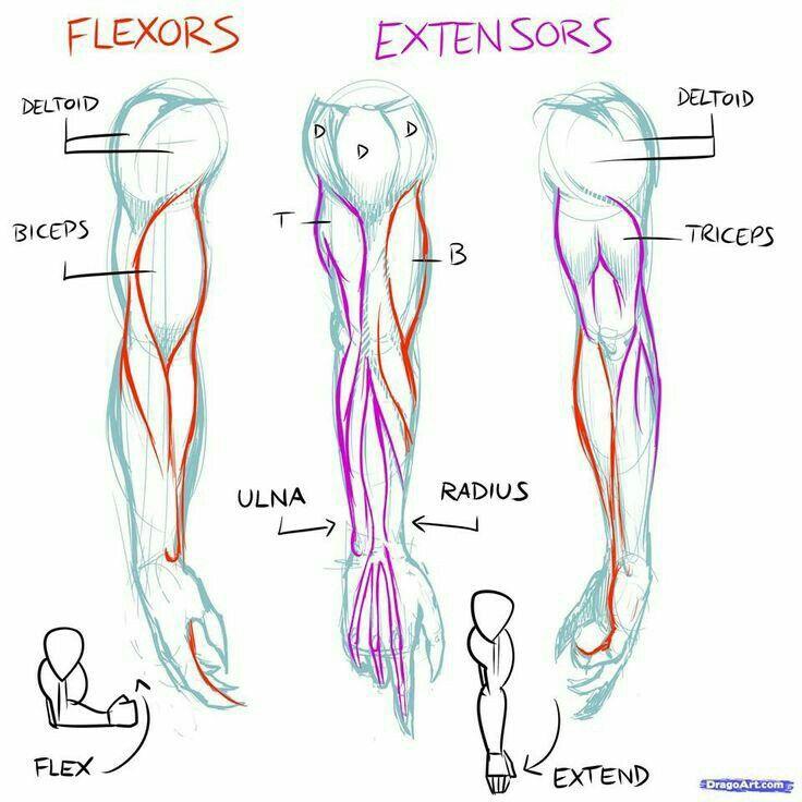 Pin de Steph en 1. Anatomy (Form)   Pinterest   Anatomía, Dibujo y ...