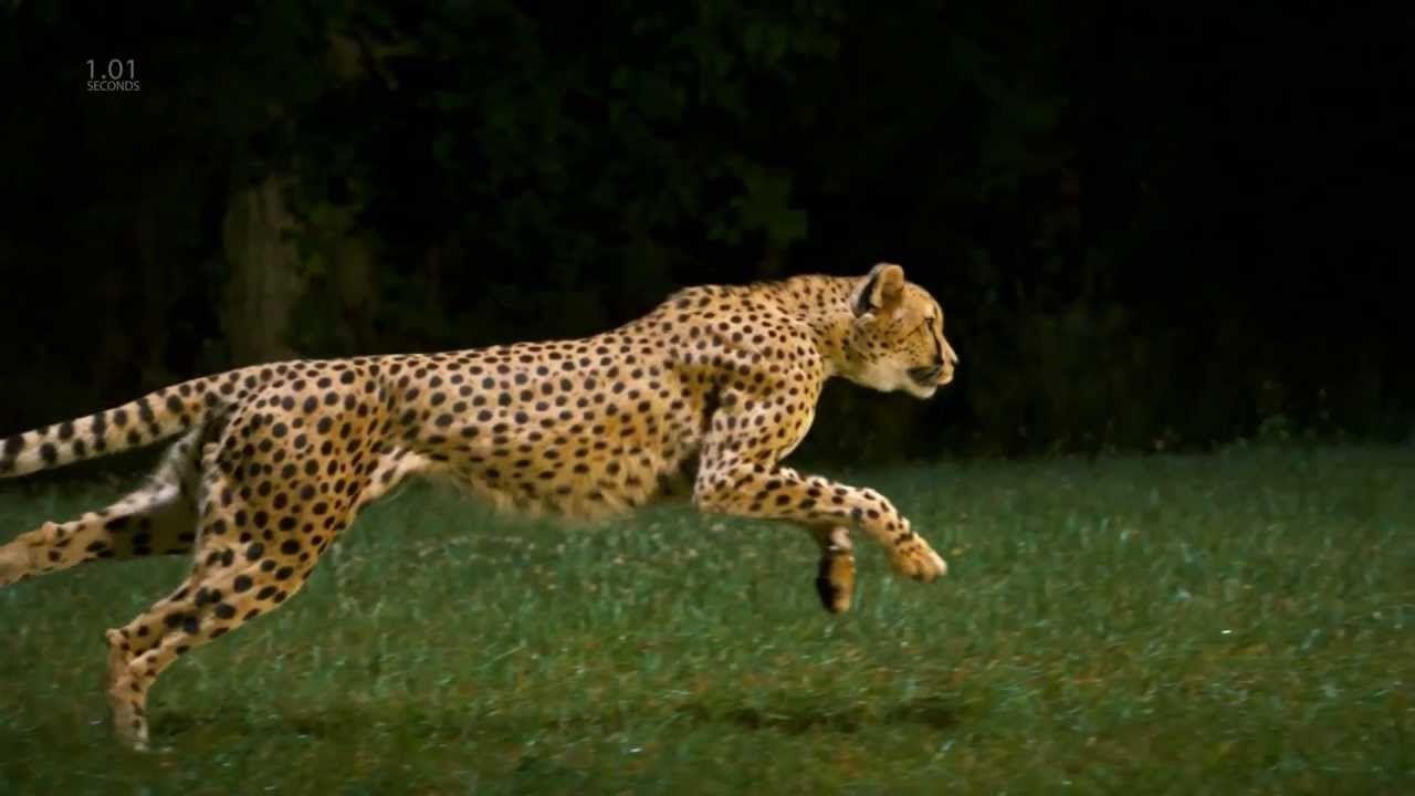 Cheetah Full Speed Slow Motion Hd Camera Cheetah Animal Gifs
