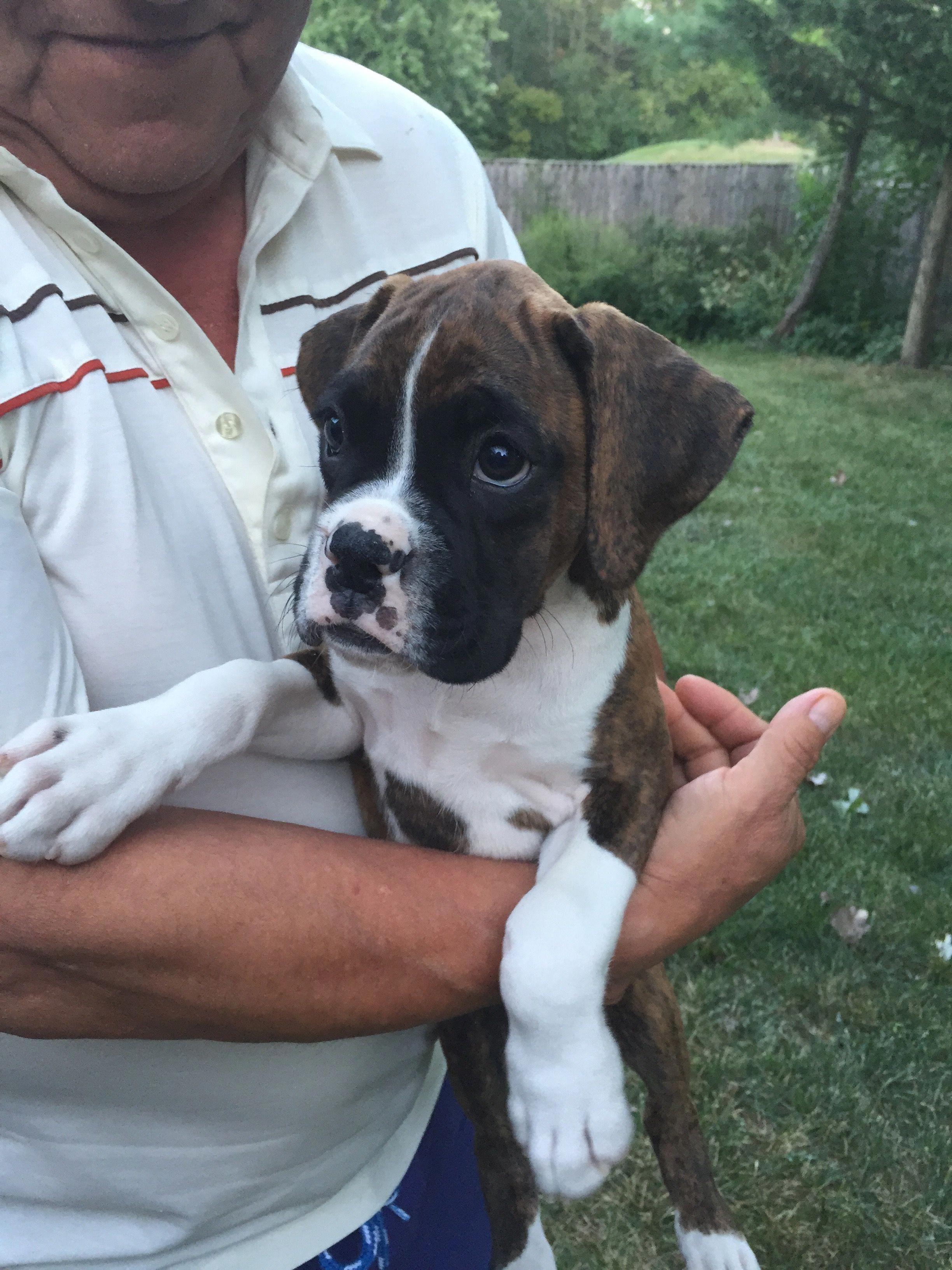 Fantastic Boxer Pups Information Is Available On Our Site Check It Out And You Wont Be Sorry You Did In 2020 Boxer Puppies Boxer Puppies For Sale Pup