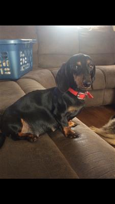 Mini Dachshund Puppies and Dogs For Sale Pets Classified
