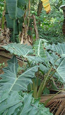 Alocasia Elephant Ear Plants Poisonous Plants Poison Garden