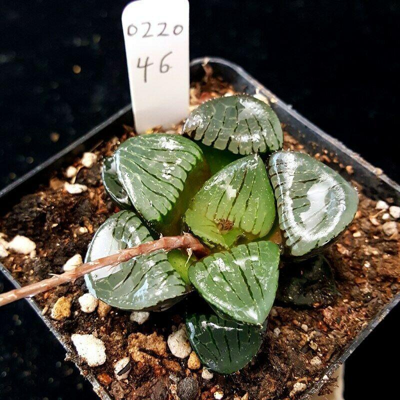 Haworthia cactuschina cactus Succulent plants Home Bonsai Decor