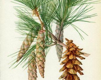 Vintage Tree Print, Weymouth or Eastern White Pine, Botanical  Book Plate 44, Ornamental, Nature, Landscape, Framing, 1969, Choc