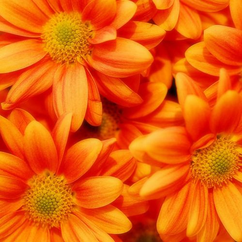 Pretty Orange Chrysanthemums Daisies In Reality Untitled By