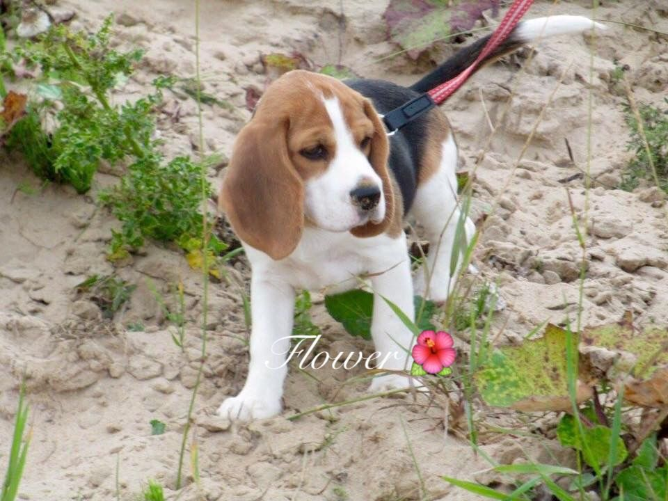 Flower Our Beagle Puppy Beagle Puppy Beagle Puppies