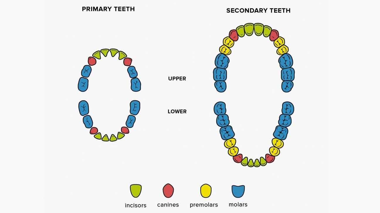 How many teeth do adults have on top on bottom and