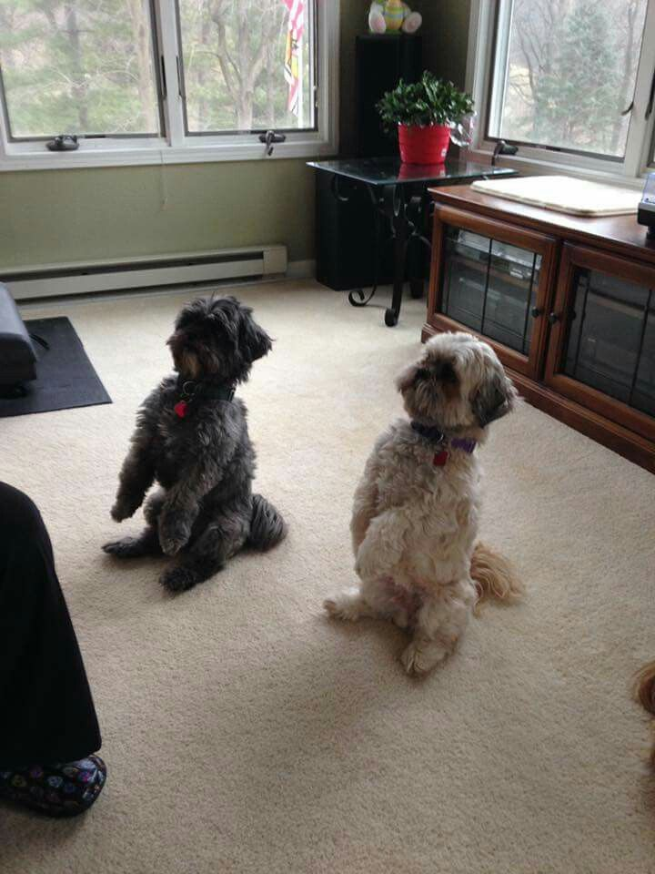 Pin By Southern Grace Shih Tzus On Buddies Shih Tzu Little Dogs Shih Tzus