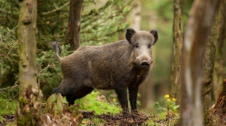 Wild Hog Hunting Tips: Where To Shoot Them