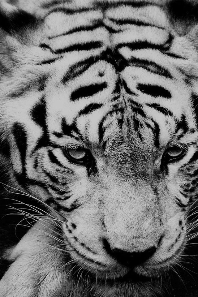 White Siberian Tiger #iPhone #4s #wallpaper