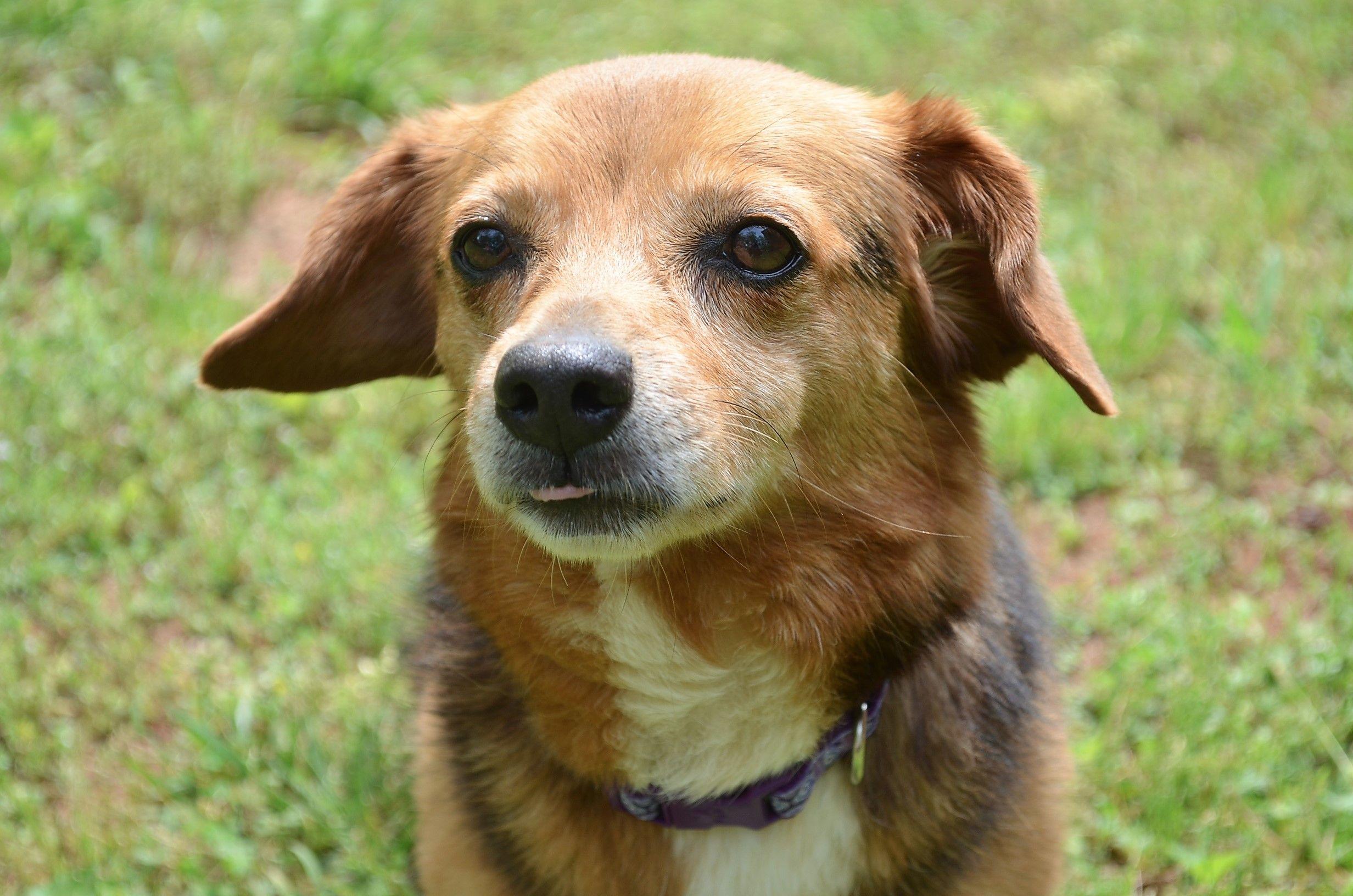 Doxle dog for Adoption in Atlanta, GA. ADN536692 on