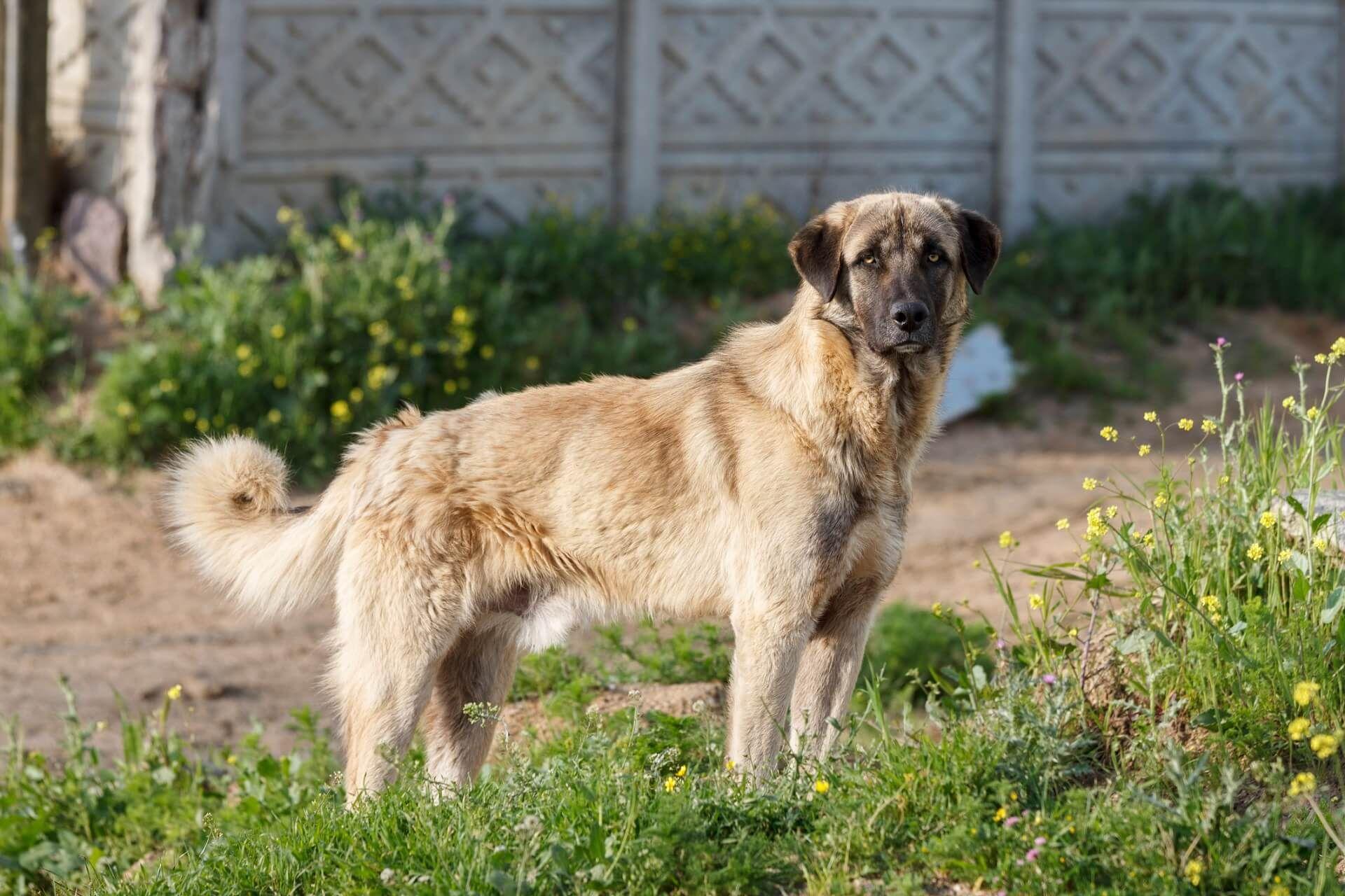 Kangal Steckbrief Charakter Haltung Geschichte In 2020 Hunderassen Hundepflege Gefahrliche Hunde