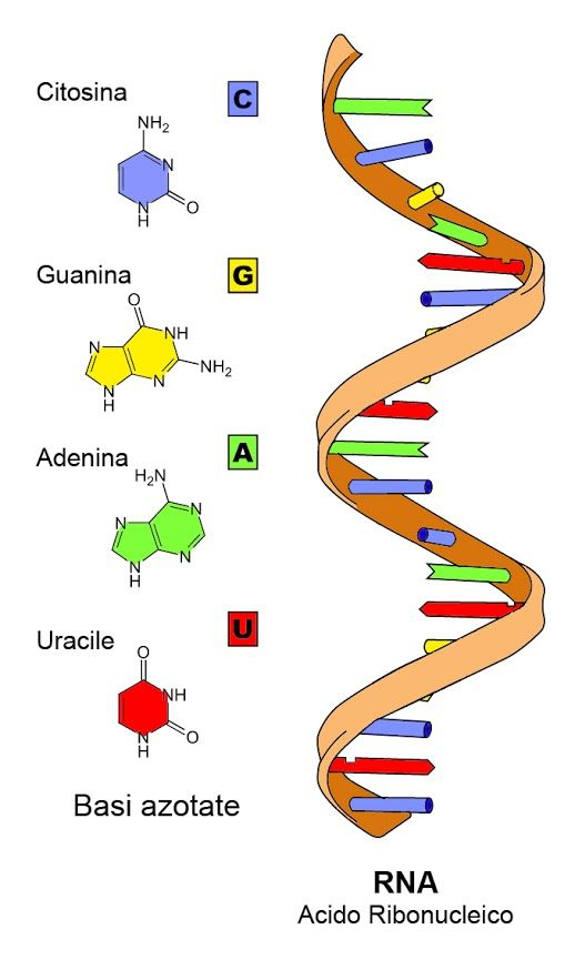 struktur materi genetik RNA