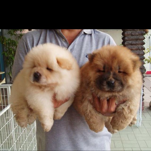 Beautiful Chow Chow Chubby Adorable Dog - d10883963b1040f2a386bcf7019bcf2b  Perfect Image Reference_40663  .jpg