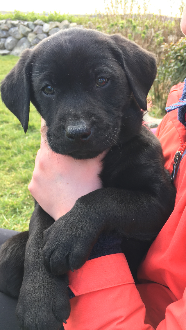 8 Week Old Black Lab Puppy Labrador Retriever Black Labrador Puppy Labrador Puppy Training