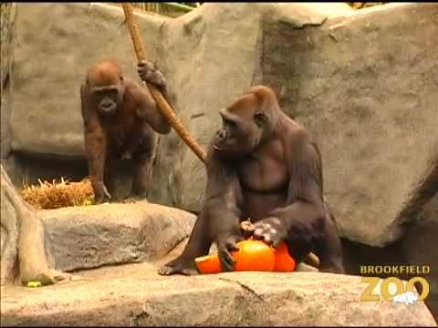 ♥♥♥ 10Halloween - Video Pumpkin Enrichment at Brookfield Zoo