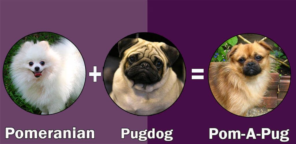 Top 10 Cross Breeds Designer Of Pug Dog By Dogmal Com Pugs
