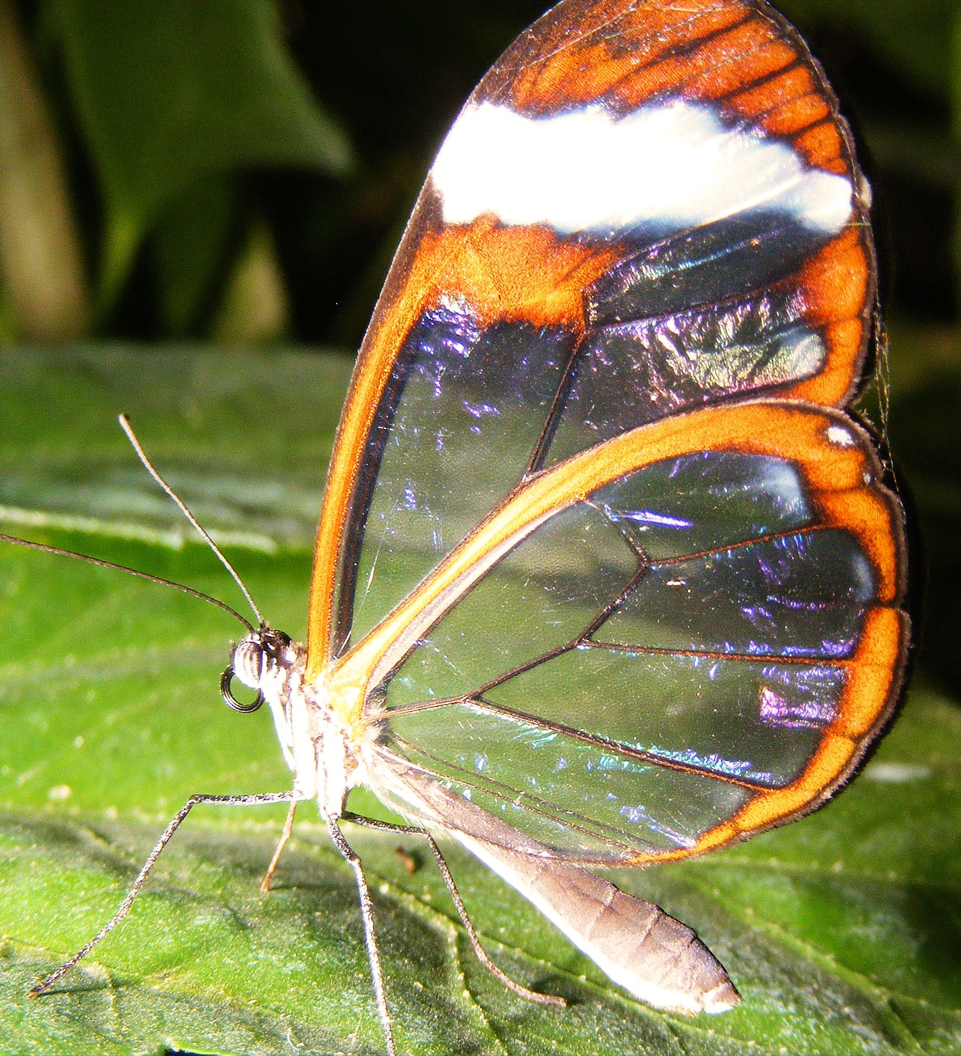 Glass Winged  Butterfly