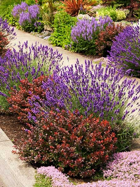 Smart design ideas for hellstrip plantings salvia dwarf for Flowering dwarf trees for landscaping