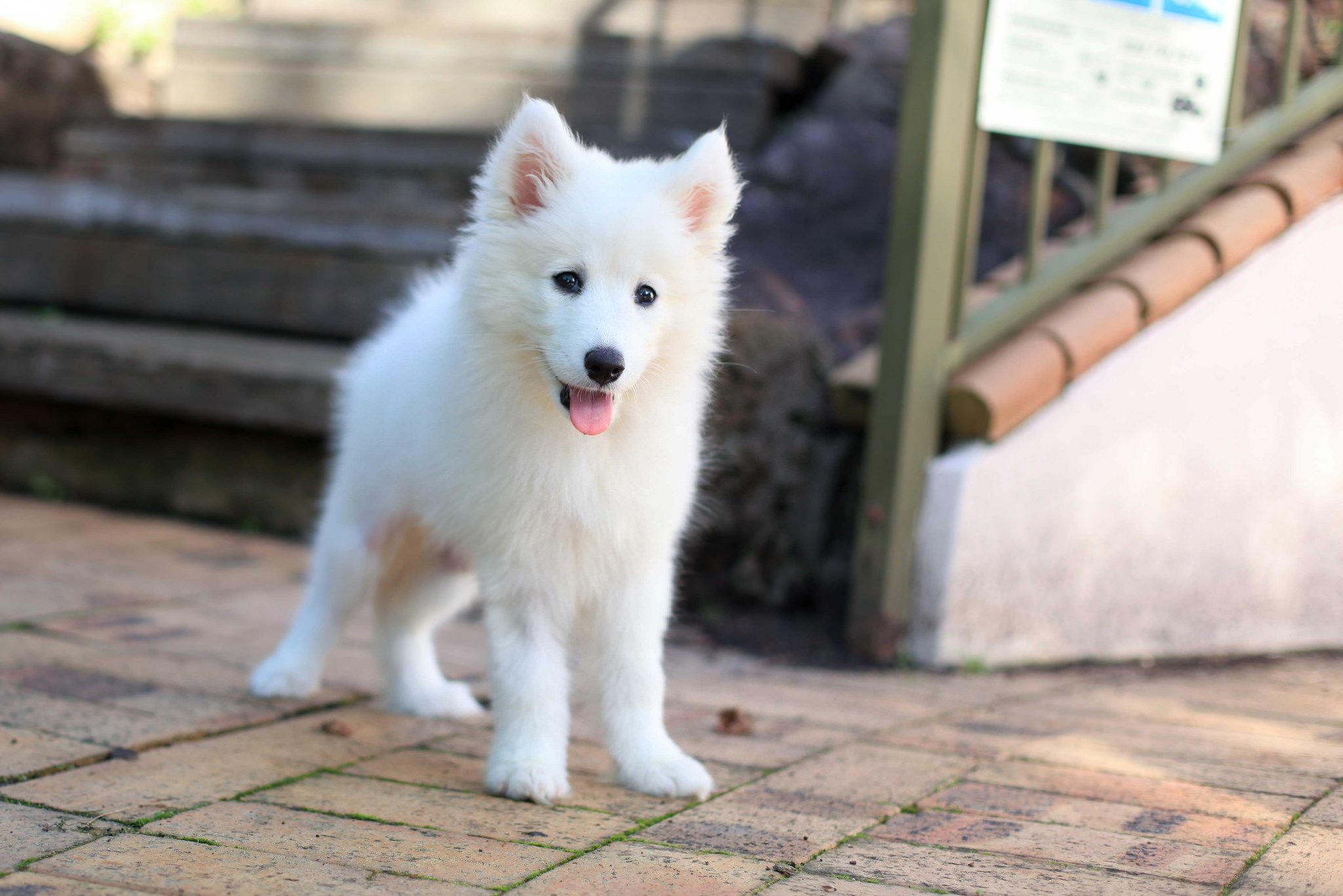 Samoyed Husky Mix Puppies Samoyed Puppy Samoyed Puppies