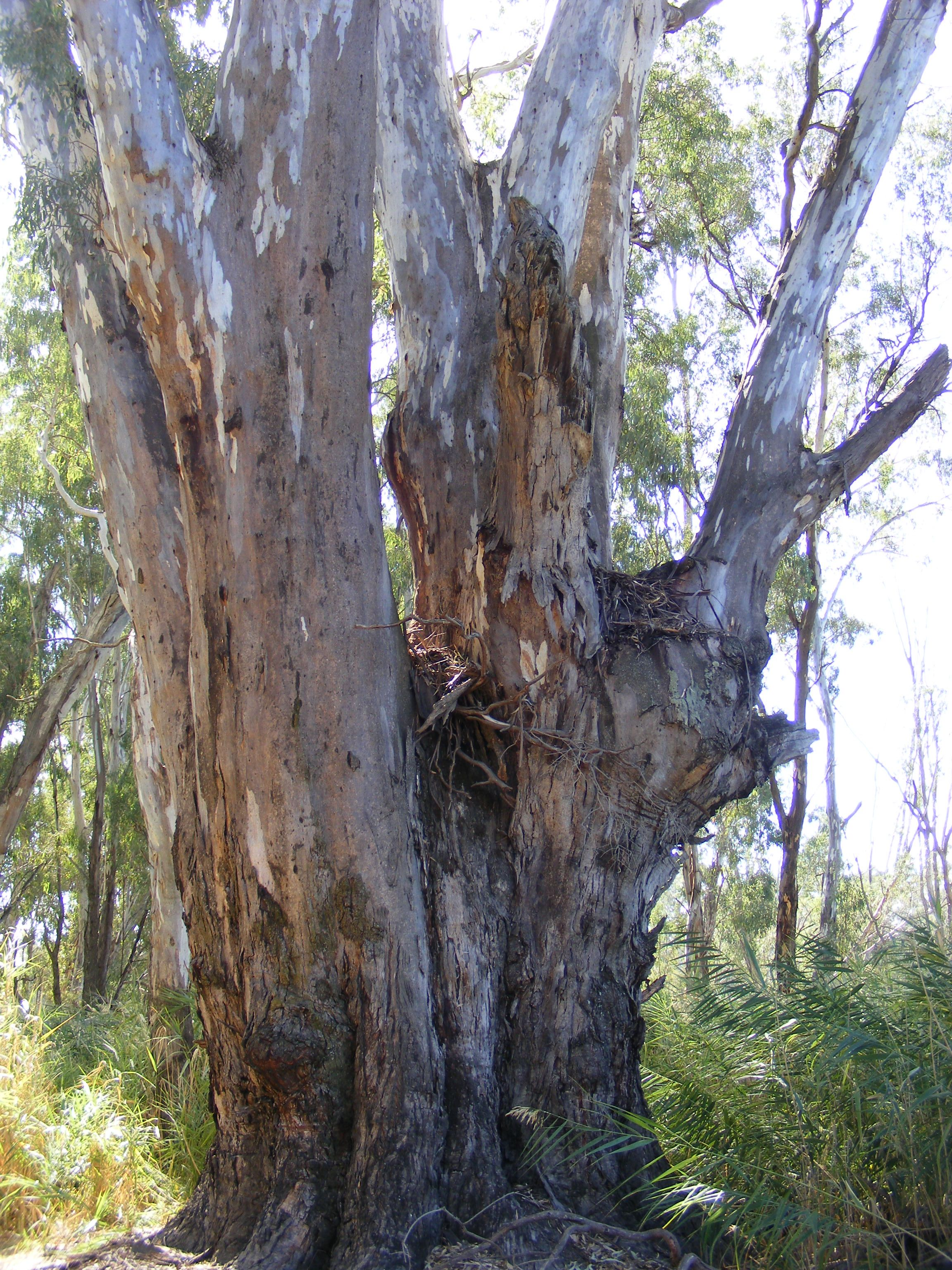 458075d3d8e56 1000 year old Redgum.