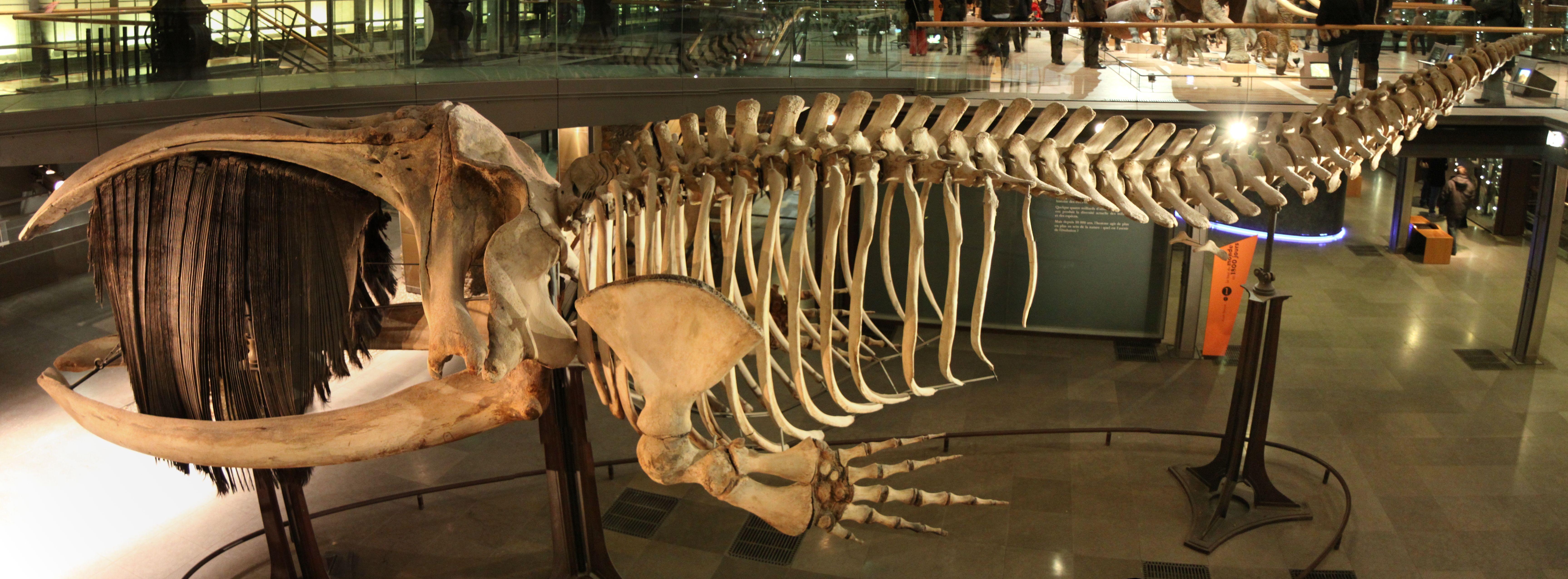 Blue Whale Bones Google Search Creatures Pinterest Whale
