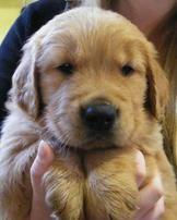 Barbsgoldens Akc Golden Retriever Puppies For Sale Georgia