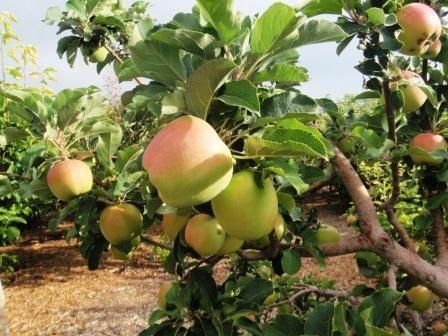 Growing Fruit In The Southern California Garden North Park Nursery San Go Center