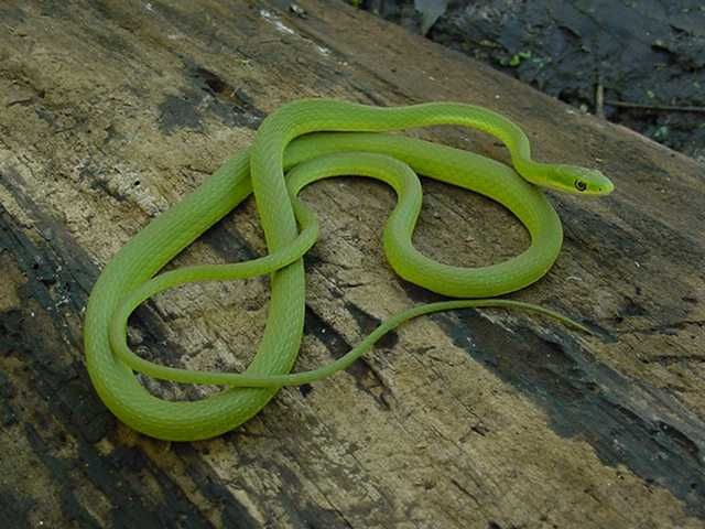 In Dreams Snakes Snake Green Snake Beautiful Snakes