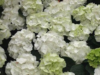 Hydrangea Macrophylla White Robe Hortensia Group Hydrangea Macrophylla Macrophylla Hydrangea