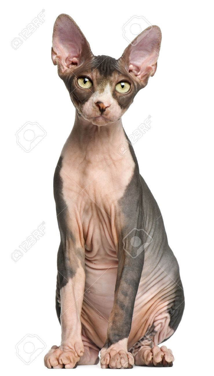 Sphynx Kitten 4 Months Old Sitting In Front Of White Background Sphynx Cat Calico Cat Facts Pretty Cats