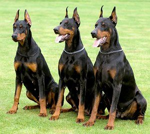 The Trio I Would Love To Have A Doberman They Are One Of My