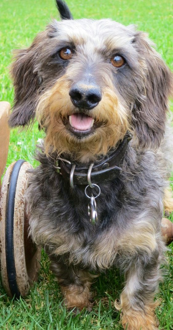 Bartolo Wire Haired Dachshund Scruffy Dogs Doxie Dogs