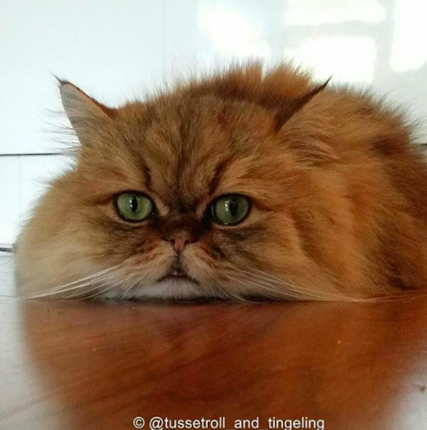 Tussetroll And Tingeling Fluffy Cats Find Mischief In Norway Fluffy Cat Cat Breeds Best Cat Breeds