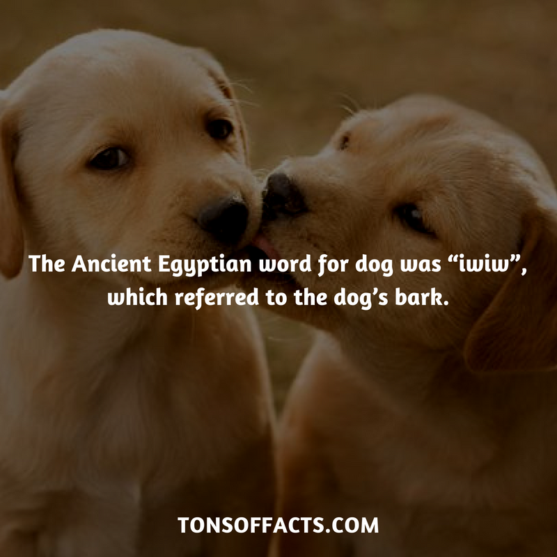 "The Ancient Egyptian word for dog was ""iwiw"", which referred"