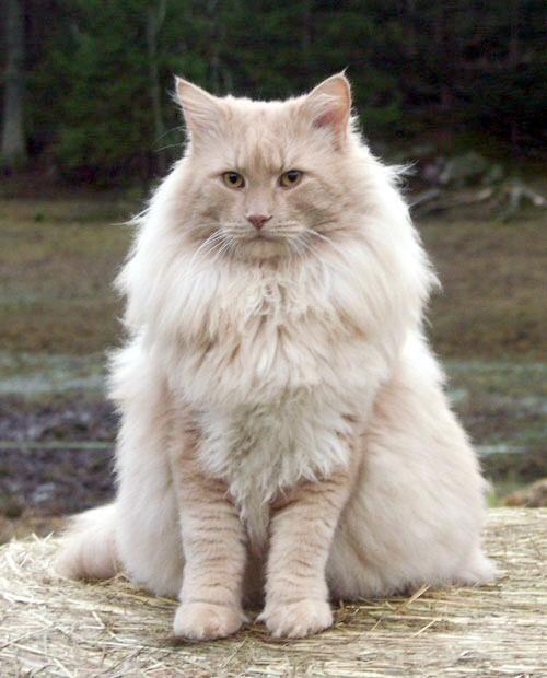 Derja S Amadeus Pedigree Borealis Norwegian Forest Cats