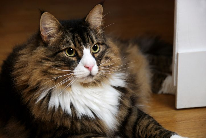 20 Obvious Things Confirmed By Science Norwegian Forest Cat American Bobtail Cat Forest Cat