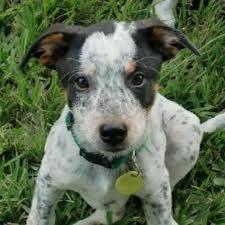 Blue Heeler Jack Russell Mix The Same Mix As Brooks