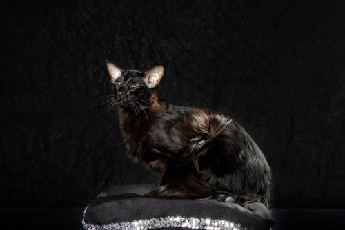 Black Ebony Cat Breeds Cat Colors Warrior Cats