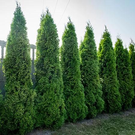 Baby Giant Arborvitae Tree Emerald Green Arborvitae Arborvitae Tree Giant Arborvitae