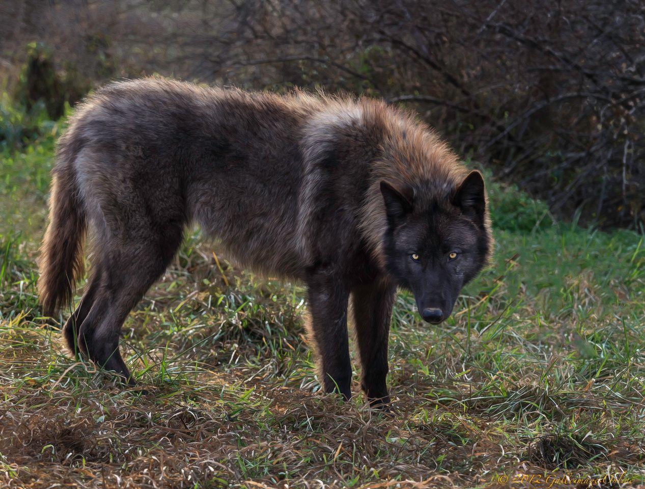 окрасы волков фото курс для тех