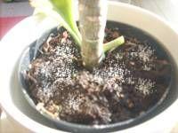 Blumenerde schimmelt schimmel im blumentopf entfernen und for Fliegen in blumenerde entfernen