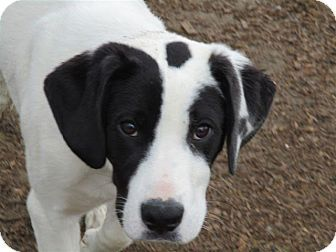 Liberty Center, OH - German Shorthaired Pointer/Labrador Retriever Mix. Meet Gar, a puppy for adoption. http://www.adoptapet.com/pet/13070322-liberty-center-ohio-german-shorthaired-pointer-mix
