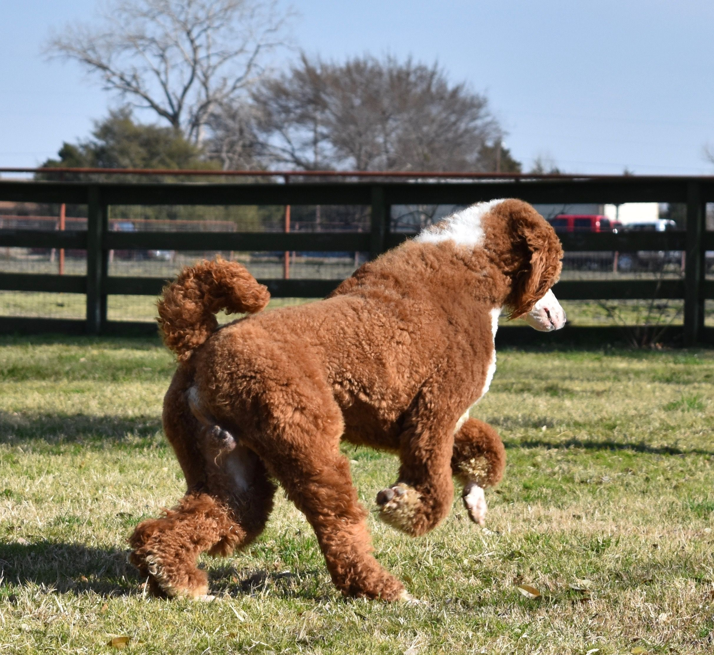 We Raise These Deep Red Red Parti Poodles In Texas Www Legacy