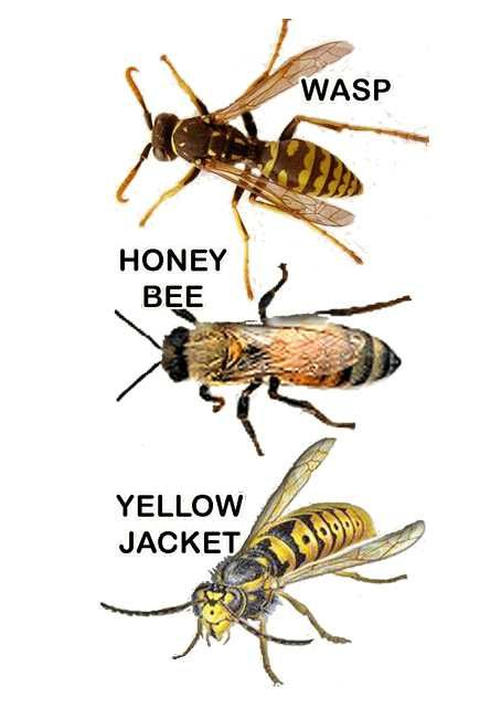 The Difference Between Wasps Honey Bees And Yellowjackets How To Catch Trap Yellow Jackets