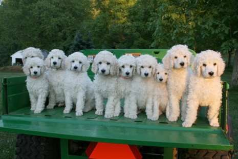 Arctus Standard Poodle Puppies White Poodle Puppies Remind Me Of