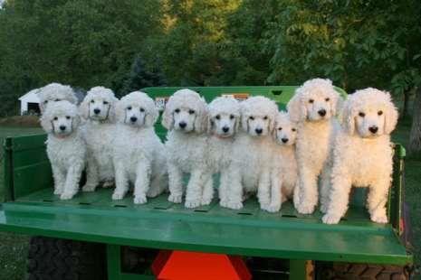 Arctus standard poodle...
