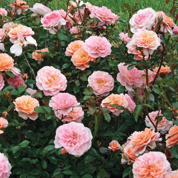 Roses In Garden: Apricot Drift ® Rose Bush Repeat Blooming By